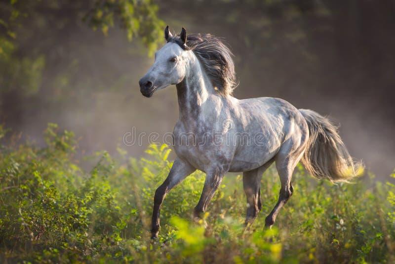 Grey horse free run. Grey arabian stallion with long mane run gallop on meadow stock images
