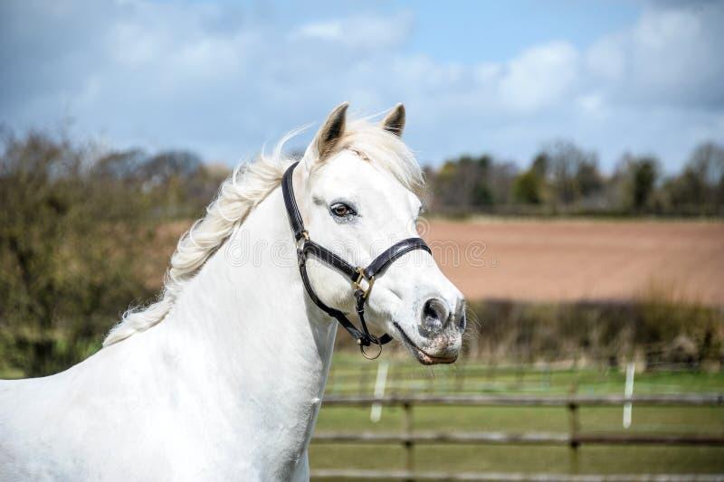 Grey Horse Headshot foto de archivo libre de regalías