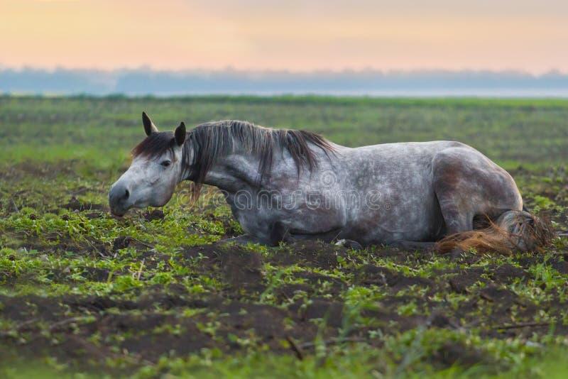 Grey horse lay royalty free stock image