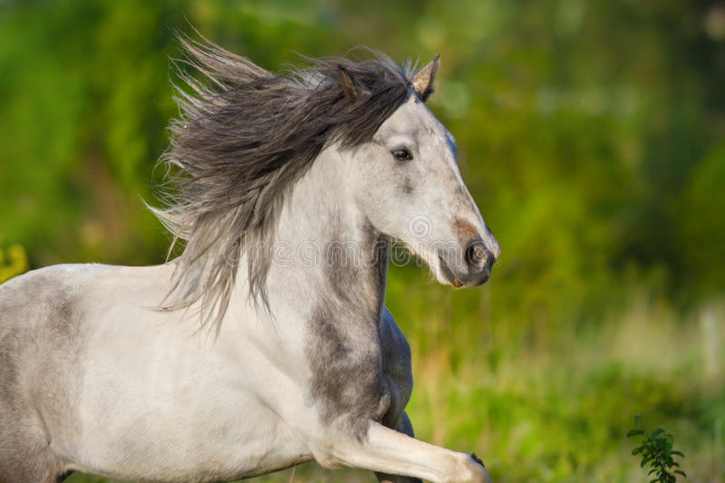 Grey horse with long mane royalty free stock images