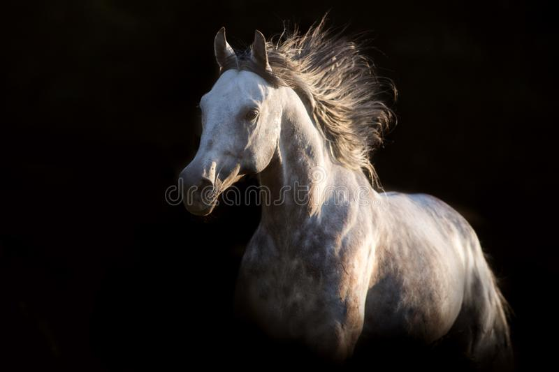 Grey horse free run stock photography