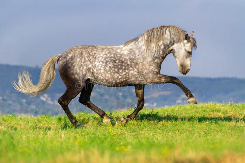 Grey horse outdoor royalty free stock photos