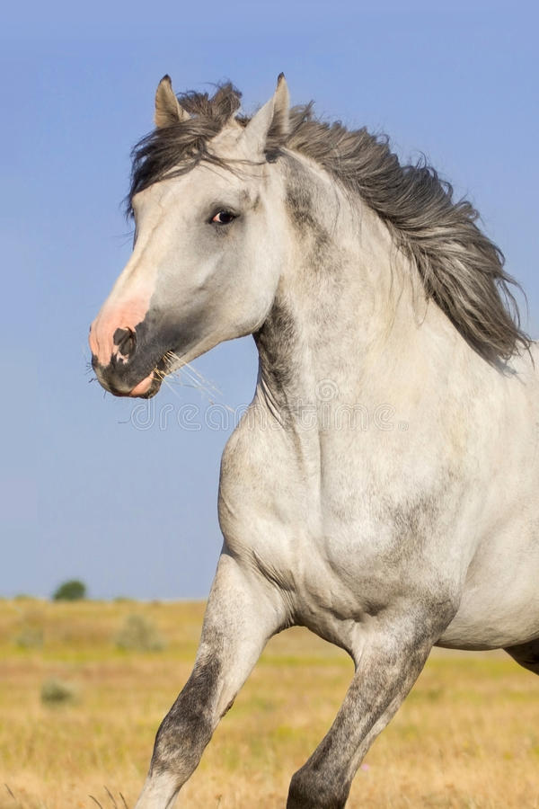 Grey horse on pasture royalty free stock images