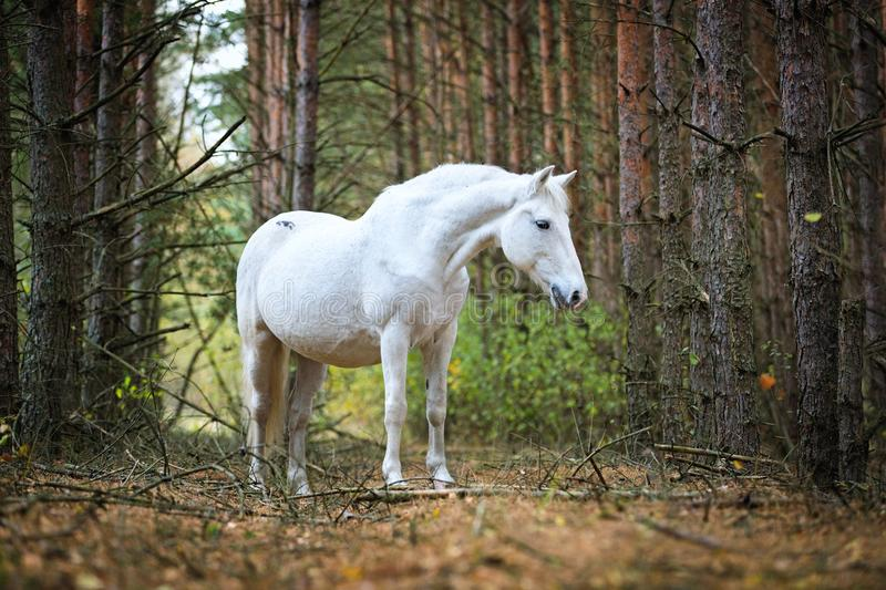 Grey horse portait in the autumn forest. Nature, looking. royalty free stock photography