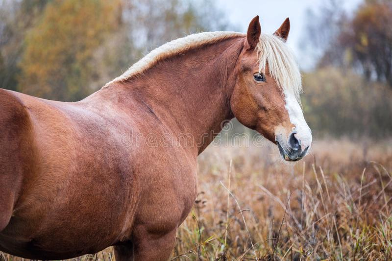 Grey horse portait in the autumn forest. Nature, looking. stock images