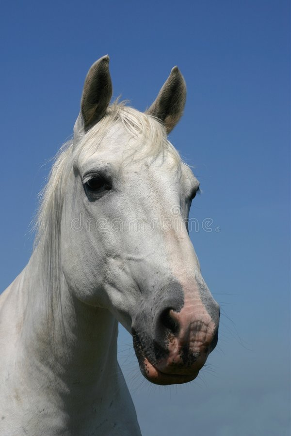 Grey horse portrait stock image