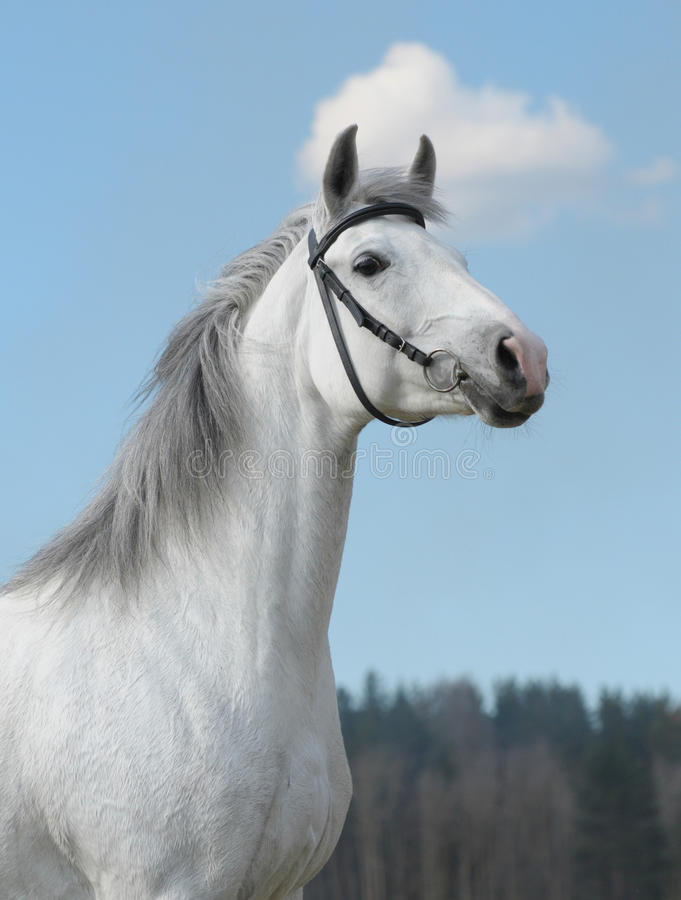 Grey horse, portrait royalty free stock photo