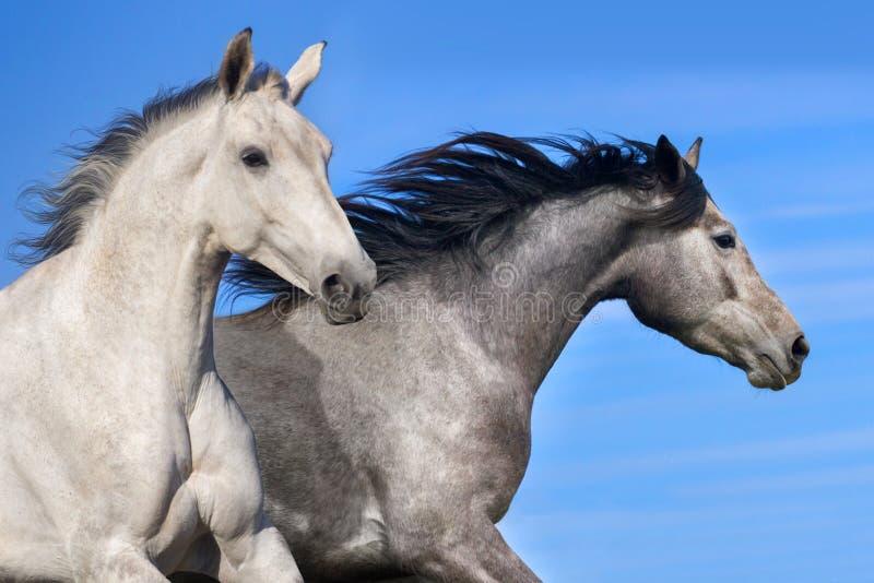 Grey horse portrait royalty free stock photos