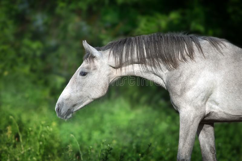 Grey horse portrait. Against green background royalty free stock photo