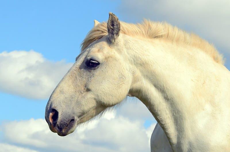Grey horse portrait royalty free stock image