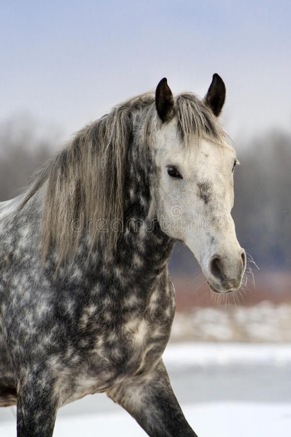 Grey horse portrait royalty free stock photography