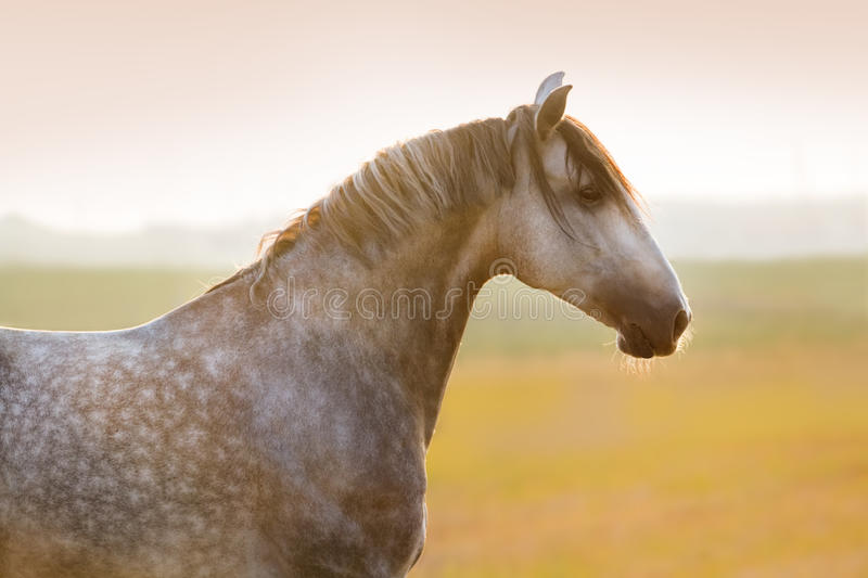 Grey horse portrait royalty free stock images