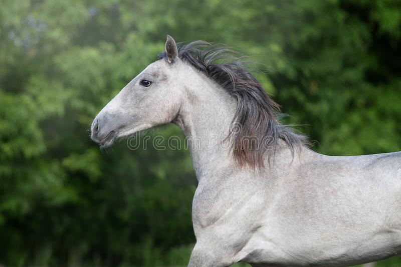 Grey horse portrait. In motion outdoor stock image
