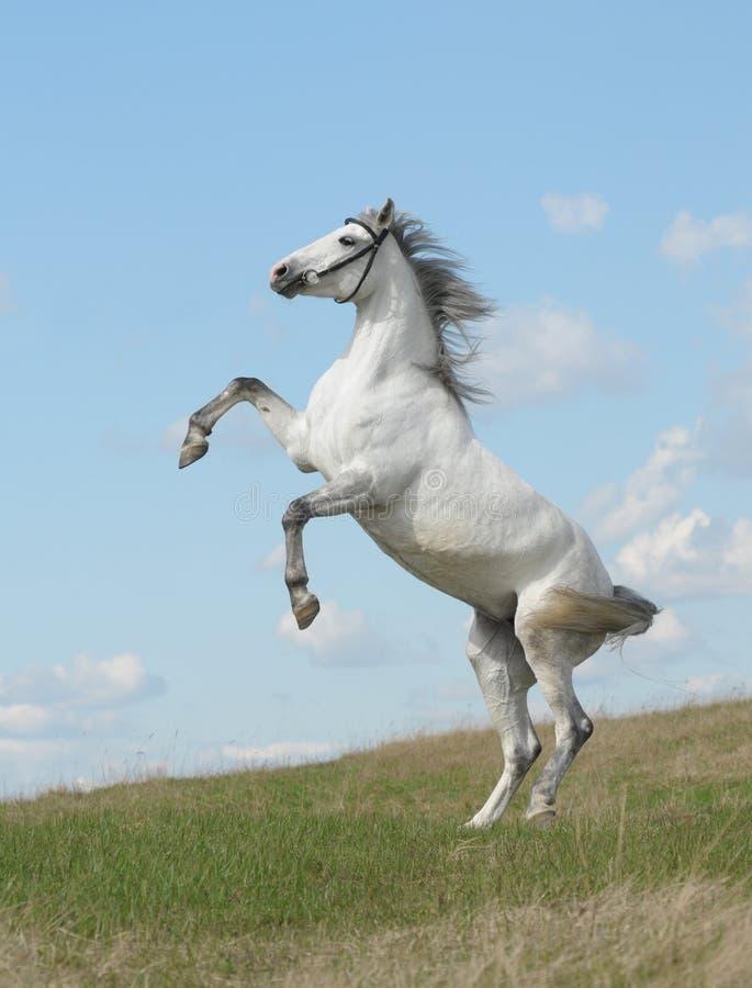 Grey Horse Rears Royalty Free Stock Image