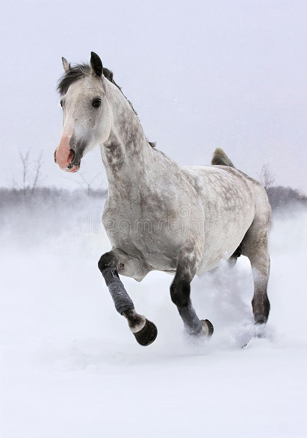Grey horse runs gallop stock photos