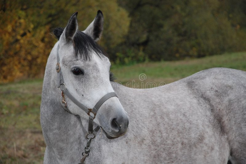 Download Grey Horse In A Three-fourth Stock Image - Image: 7252611