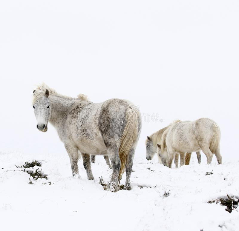 Grey horses in a deep white out snow storm stock photo
