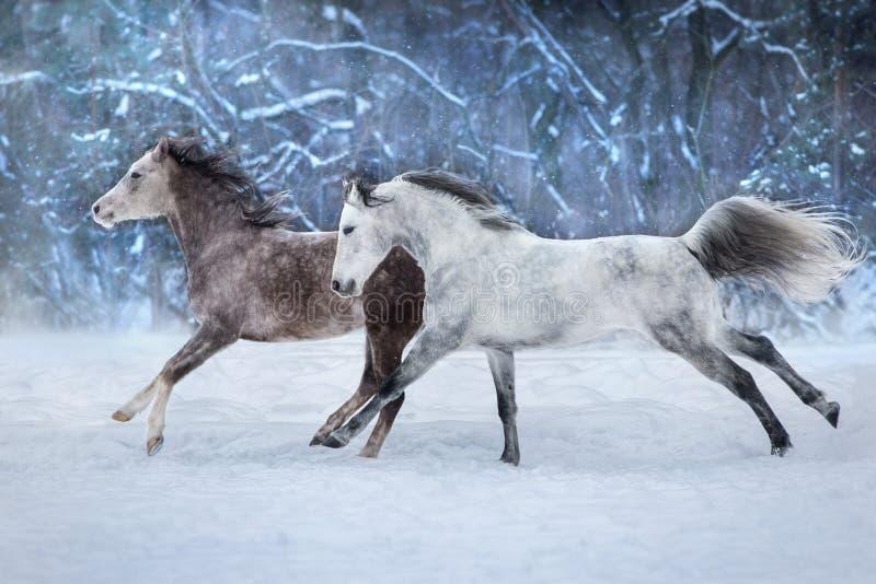 Grey horses run in snow. Grey arabian horses run gallop in snow royalty free stock photos