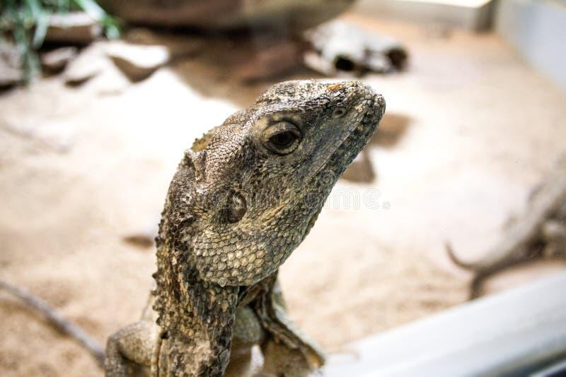 Grey Iguana Free Public Domain Cc0 Image