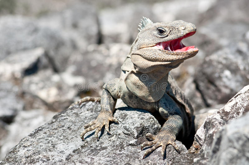 Grey iguana with open mouth. Attacking strangers in Palenque, Mexico stock photography