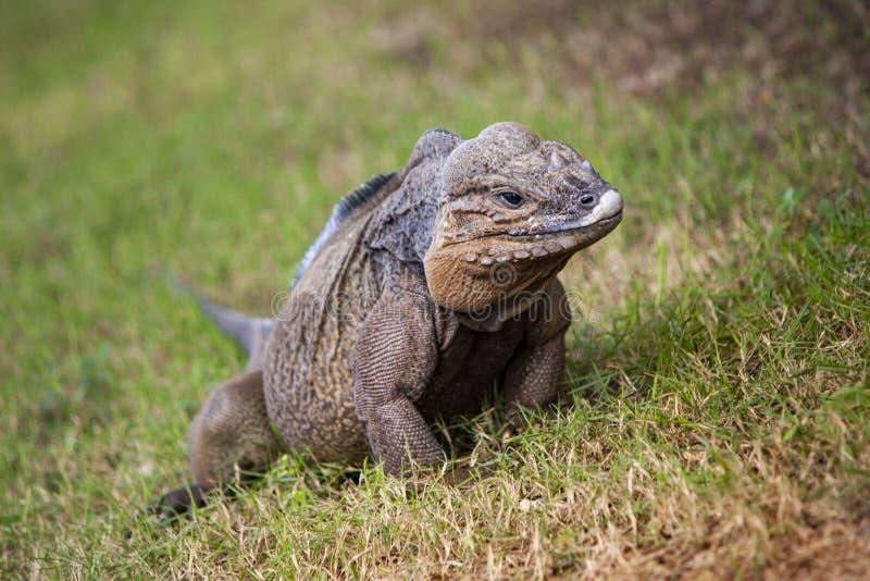 Grey Iguana in Dominican Republic 2. Grey Iguana in wildlife in Dominican Republic royalty free stock photography