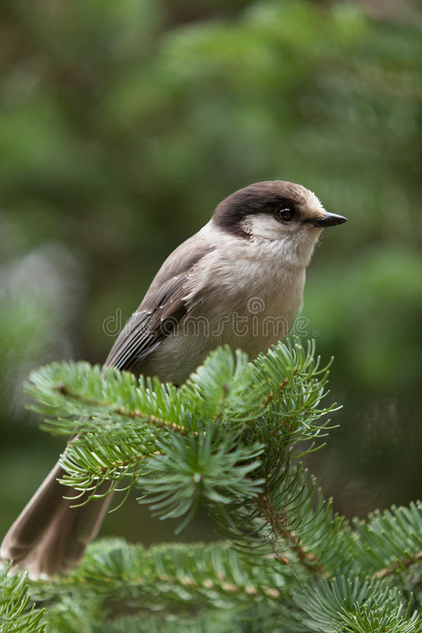 Download Grey Jay Stock Photography - Image: 24180632