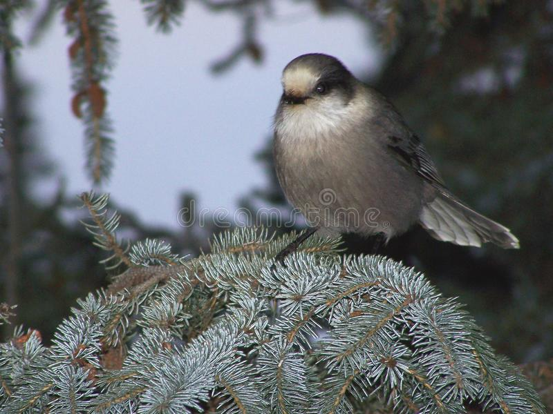 Grey Jay Perched op Nette Tak stock foto's
