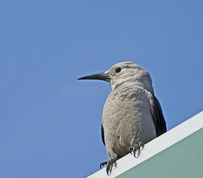 Grey Jay sitting on a roof stock photos