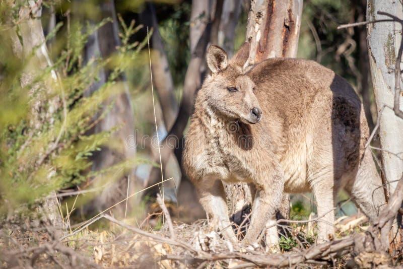 Grey Kangaroo orientale maschio selvaggio, parco storico dei terreni boscosi, Victoria, Australia, giugno 2019 fotografia stock