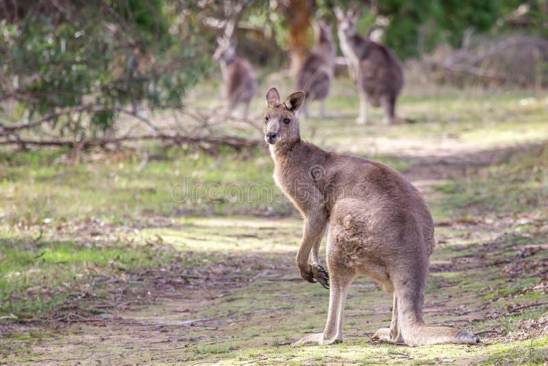 Grey Kangaroo orientale maschio selvaggio, parco storico dei terreni boscosi, Victoria, Australia, giugno 2019 immagine stock libera da diritti