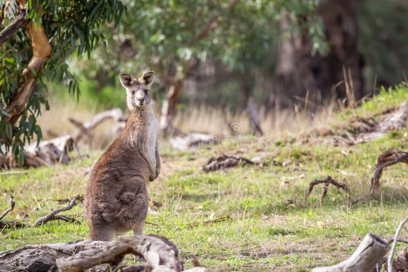 Grey Kangaroo orientale selvaggio, parco storico dei terreni boscosi, Victoria, Australia, giugno 2019 fotografia stock libera da diritti
