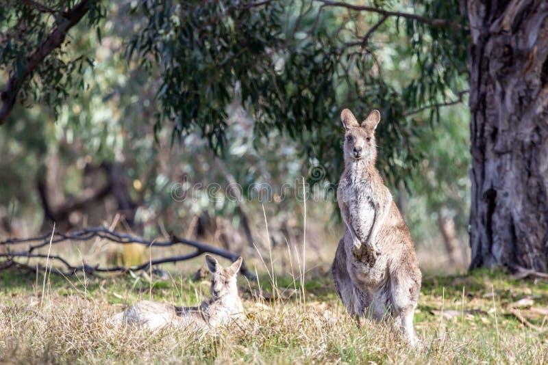 Grey Kangaroo orientale selvaggio, parco storico dei terreni boscosi, Victoria, Australia, giugno 2019 immagini stock