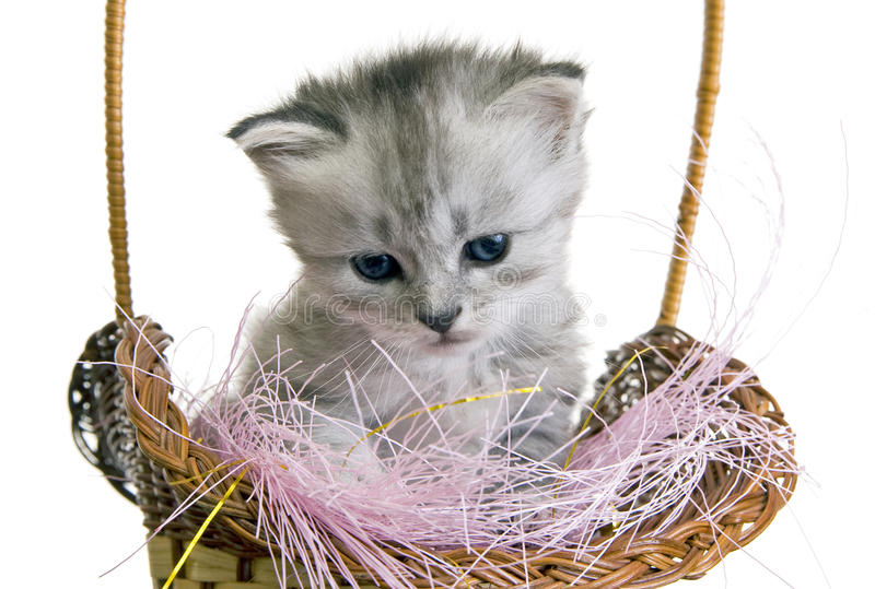 Download Grey kitten stock photo. Image of grey, fauna, studio - 14902032