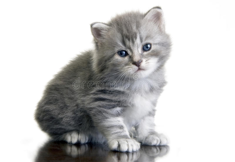 Download Grey kitten stock image. Image of pets, white, isolated - 14902035