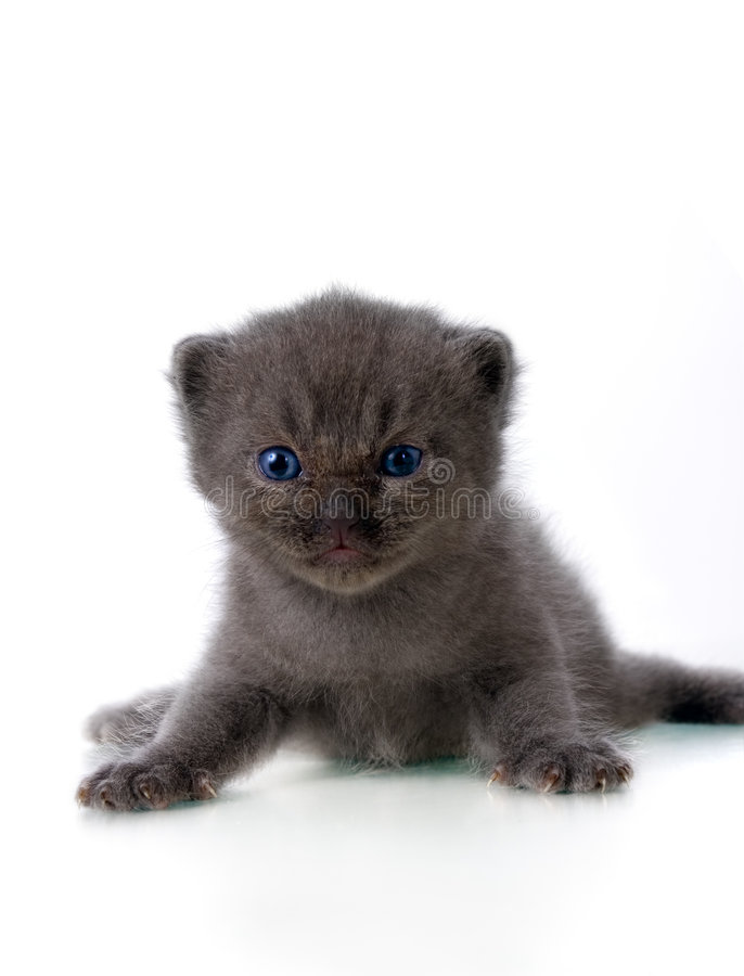 Download Grey Kitten Stock Photography - Image: 1882612