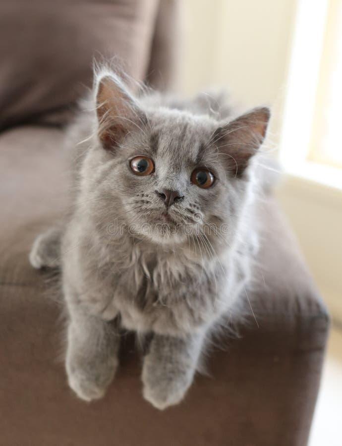 Download Grey Kitten stock photo. Image of kittens, animal, cute - 25651068