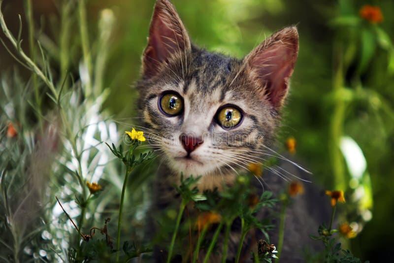 Grey kitten. Little kitten is discovering the world royalty free stock photos