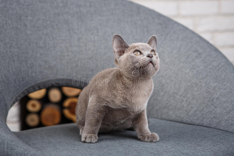 Grey kitten Burmese sitting on a gray fabric chair in the interior against the white brick walls stock images