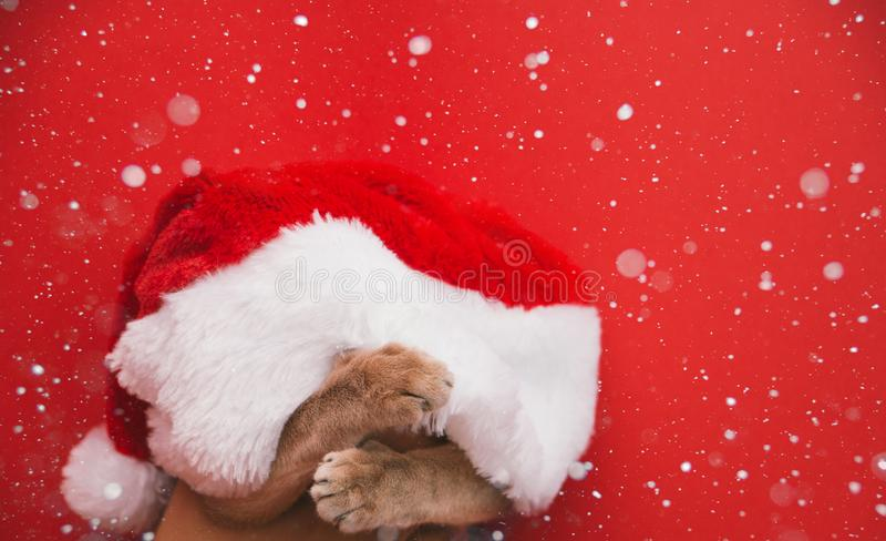 Grey kitten at Christmas. Cute gray kitten in a Christmas cap face covered with a hat of Santa Claus on a red snowy background royalty free stock photo