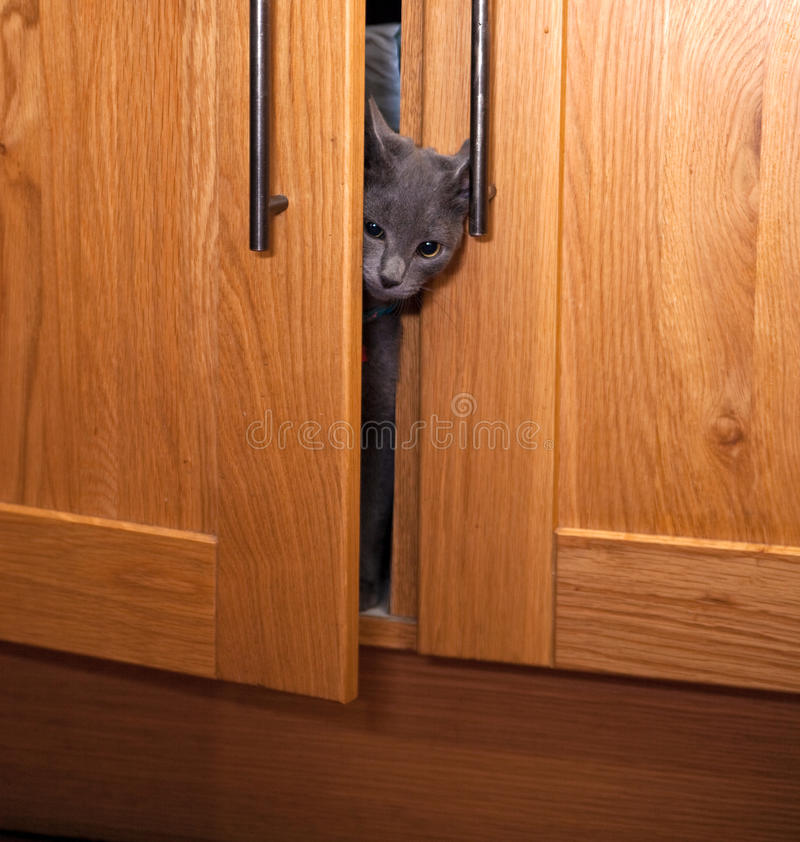 Grey kitten emerging from a cupboard stock images