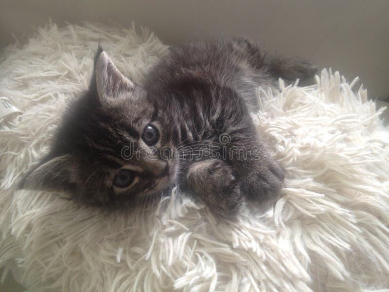Grey Kitten lanuginosa su Fuzzy Pillow immagine stock