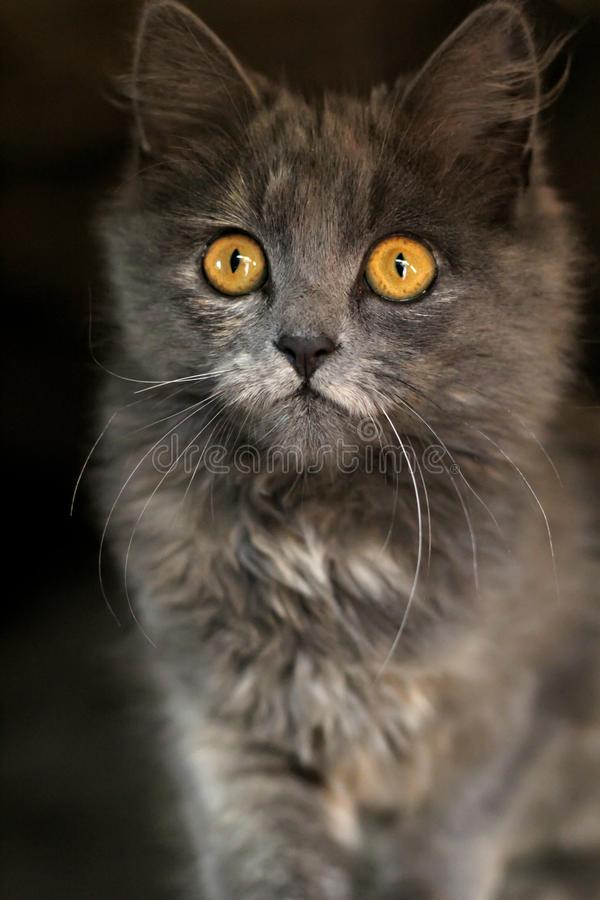 Grey kitten with piercing eyes looking. beautiful gray cat royalty free stock image