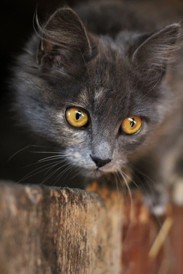 Grey kitten with piercing eyes looking. beautiful gray cat stock image