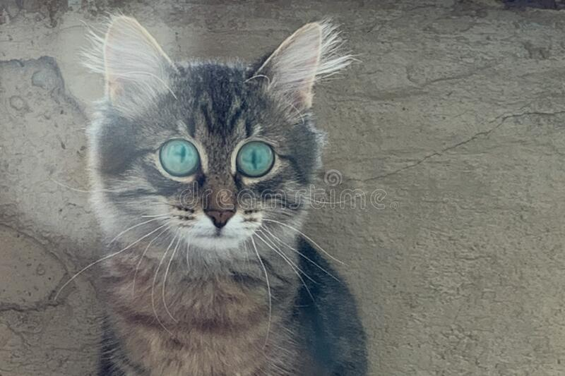 Grey kitten with wide open eyes. Grey kitten siting with wide open eyes stock image