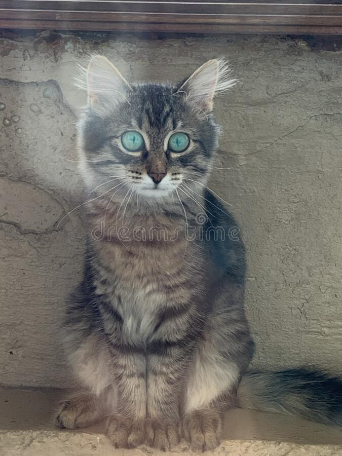 Grey kitten with wide open eyes. Grey kitten siting with wide open eyes royalty free stock image