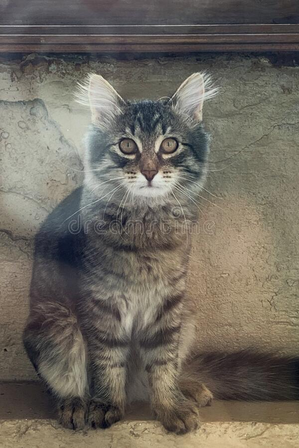 Grey kitten with wide open eyes. Grey kitten siting with wide open eyes royalty free stock photos