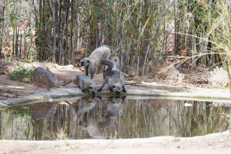 Grey Langoors eller apaspela och dricksvatten från en waterhole royaltyfri foto