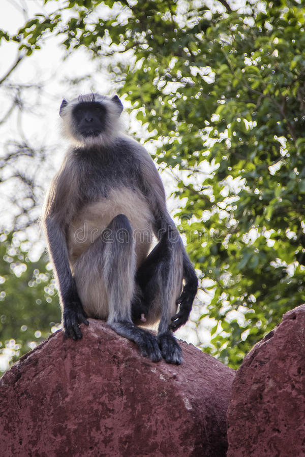 Grey Langur Monkey stock photo