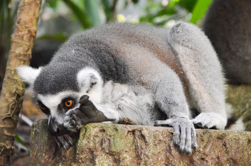 Grey Lemur. A grey lemur found at Singapore Zoological Gardens. They are from Madagascar royalty free stock photography