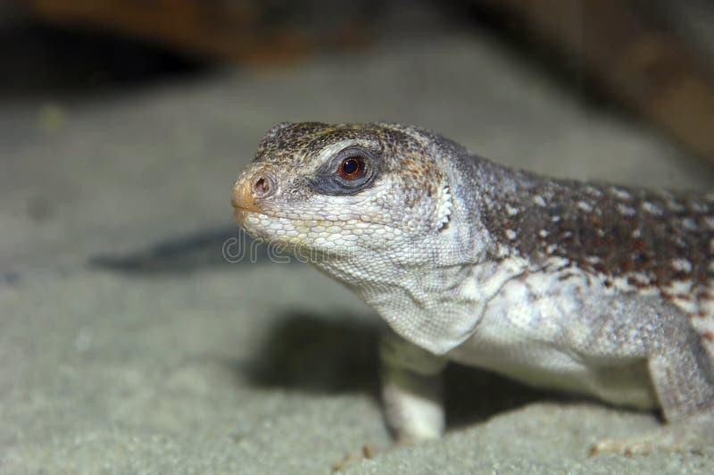 Grey Lizard royalty free stock photos